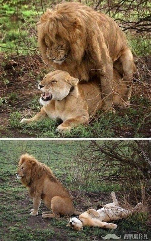 bycie królem dżungli zobowiązuje